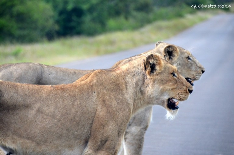 Two lions on the road Kruger National Park South Africa