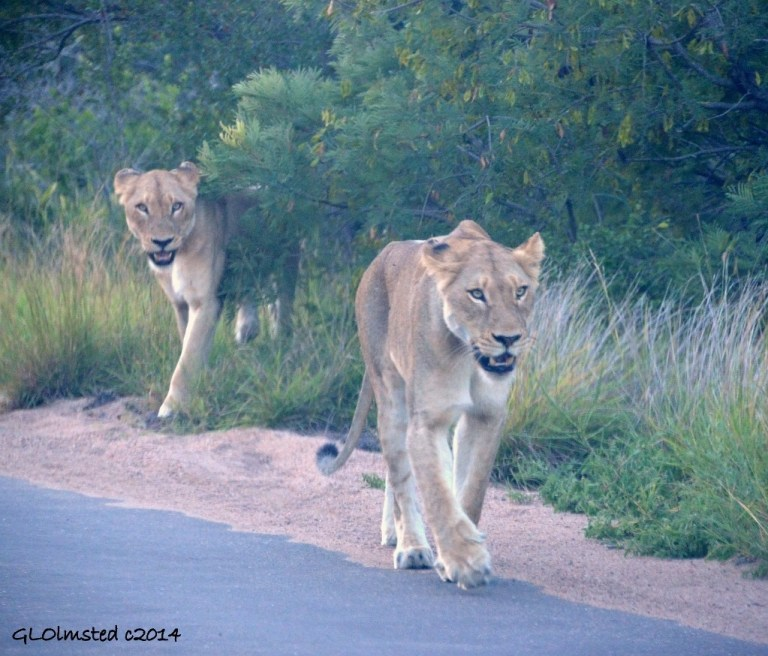Two lioness Kruger National Park South Africa
