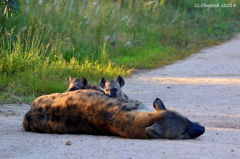 Hyenas suckling Kruger National Park South Africa