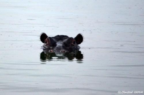 05 DSC_3814 Hippo Kruger NP SA g (1024x677)