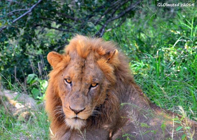 Lion Kruger National Park South Africa