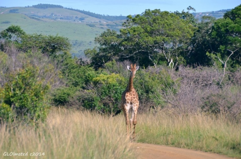 Giraffe Hluhluwe iMfolozi National Park South Africa