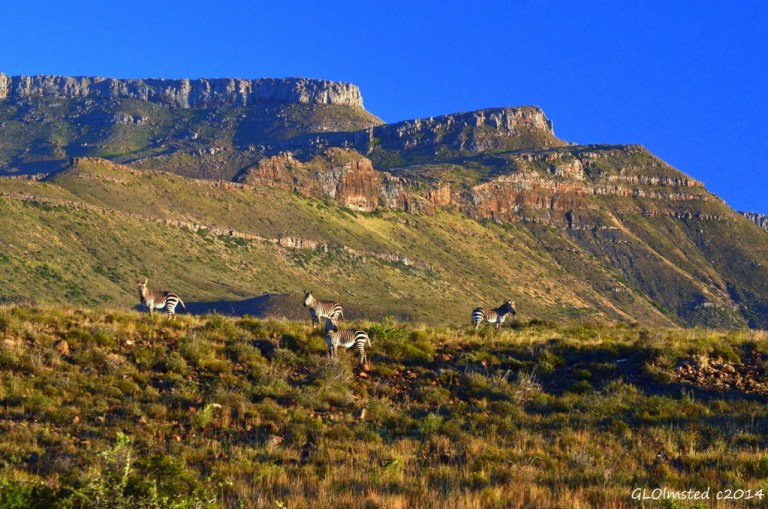 Mountain Zebra Karoo National Park South Africa