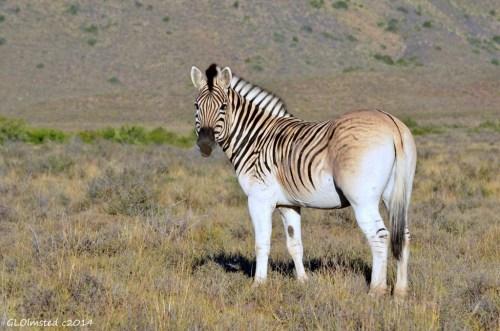 Burchell's zebra Karoo National Park South Africa