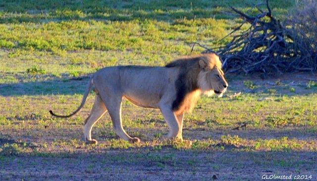Lion Kgalagadi Transfrontier Park South Africa