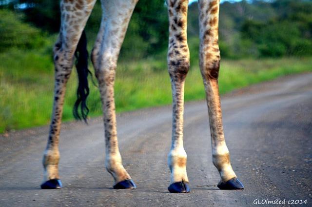 Giraffe legs Kruger National Park South Africa
