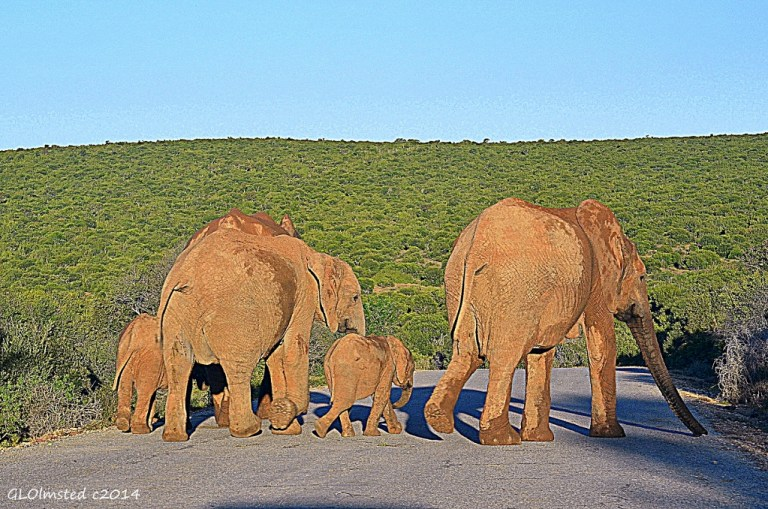 Elephants on the road Addo Elephant National Park South Africa