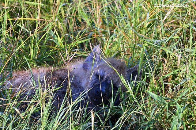 Hyena pup sleeping Kruger National Park South Africa