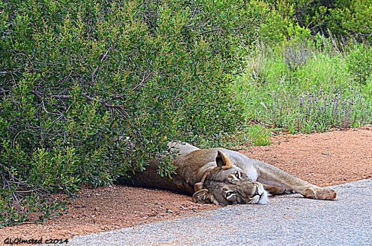 Lion Addo Elephant National Park South Africa