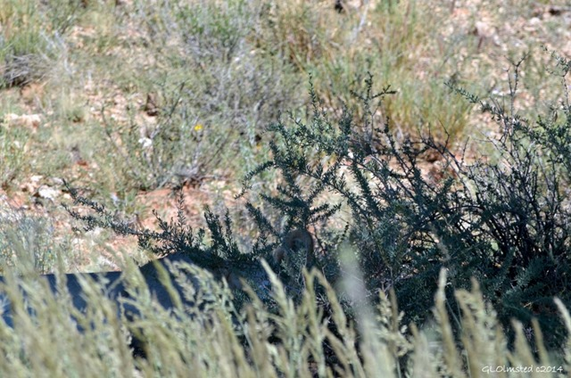 Lioness hiding in brush Kgalagadi Transfrontier Park South Africa