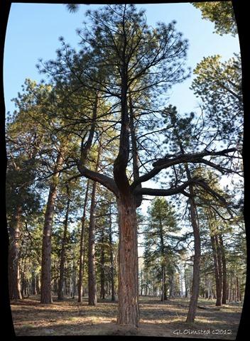 07 303 Candleabra tree NR GRCA NP AZ fff63 pano (750x1024)