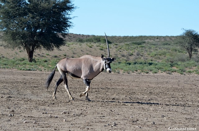 Gemsbok with deformed horn Kgalagadi Transfrontier Park South Africa