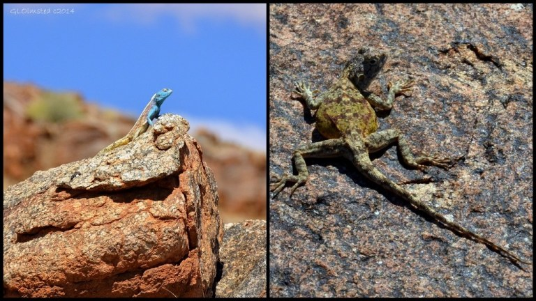 15 Agamas Augrabies Falls NP (1024x576)