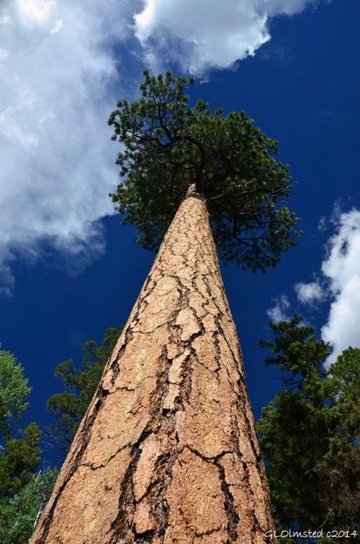 03 DSC_3523 Looking up Ponderosa Pine AZ Trail NR GRCA NP AZ fb g (678x1024)
