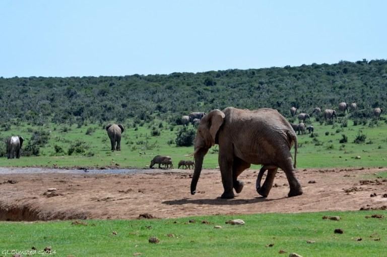 04 DSC_7777 Elephants Addo Elephant NP SA fff68 (1024x678)
