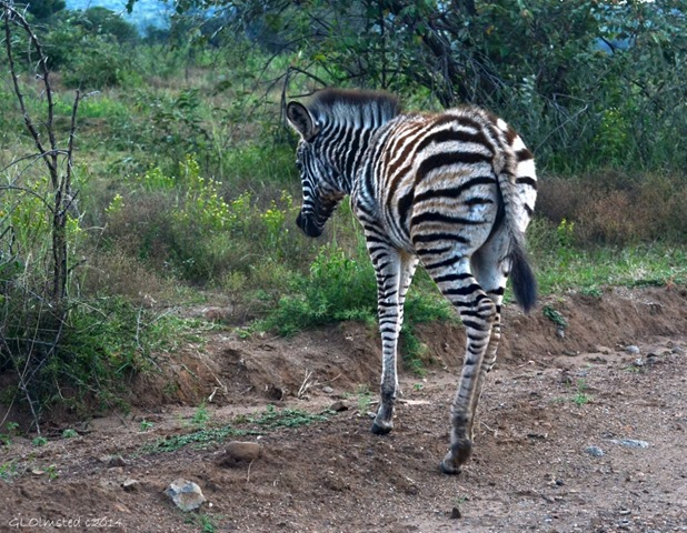 06 DSC_0356 Young Zebra Pilanesberg GR SA fff67 (1024x795)