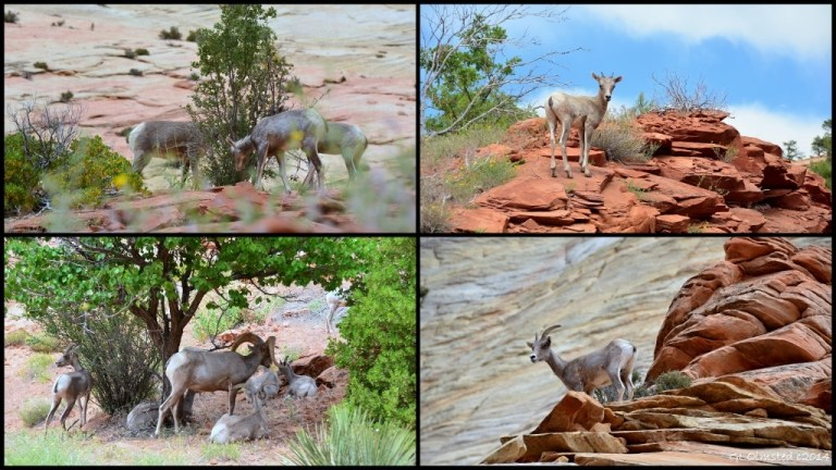 06 Desert Bighorn Sheep Zion NP UT collage (1024x576)