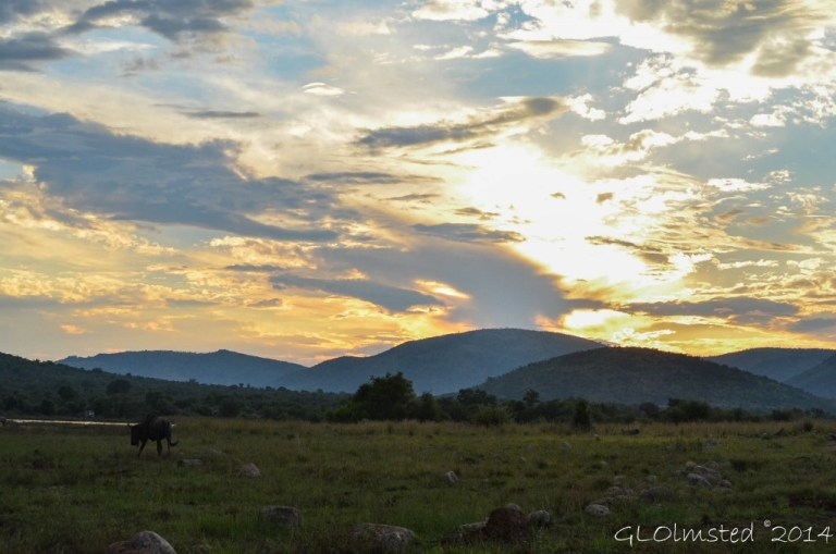 Sunset & blue wildebeest Pilanesberg Game Reserve South Africa