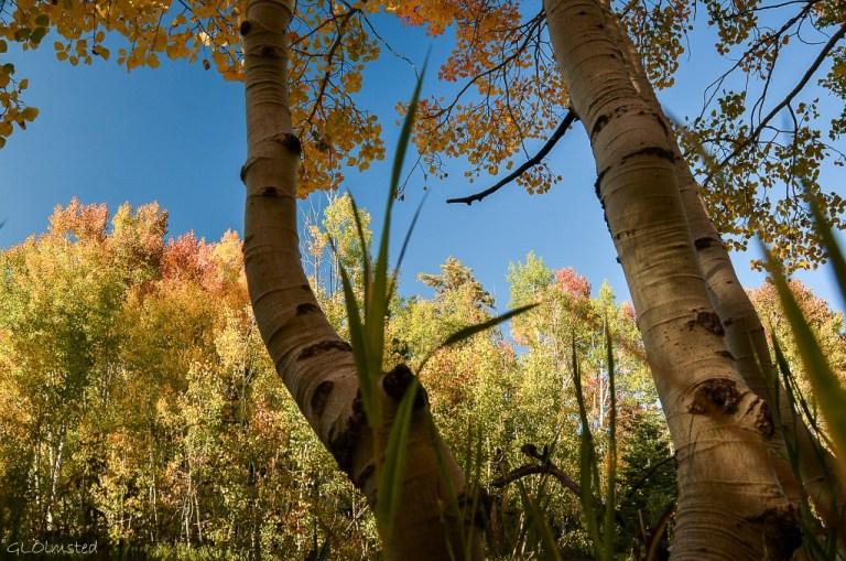 Fall aspen along FR610 E Kaibab National Forest Arizona