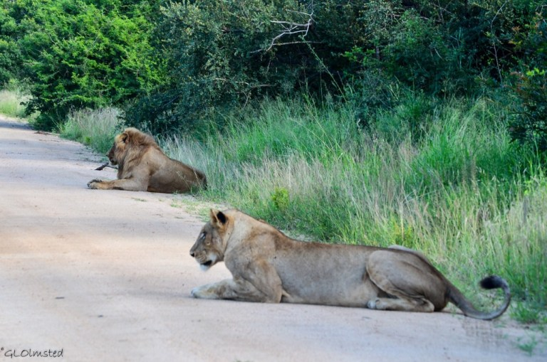 Mated pair of Lions Kruger National Park South Africa