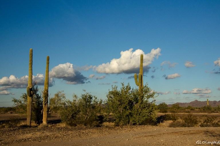 Saguaros & Kofa Mountains La Paz BLM Quartzsite Arizona