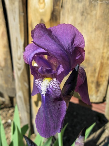 Iris Yarnell Arizona