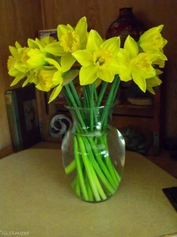 Daffodils Yarnell Arizona