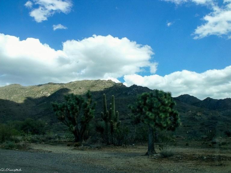 Saguaros & Joshua trees below Weaver Mts SR89 Arizona