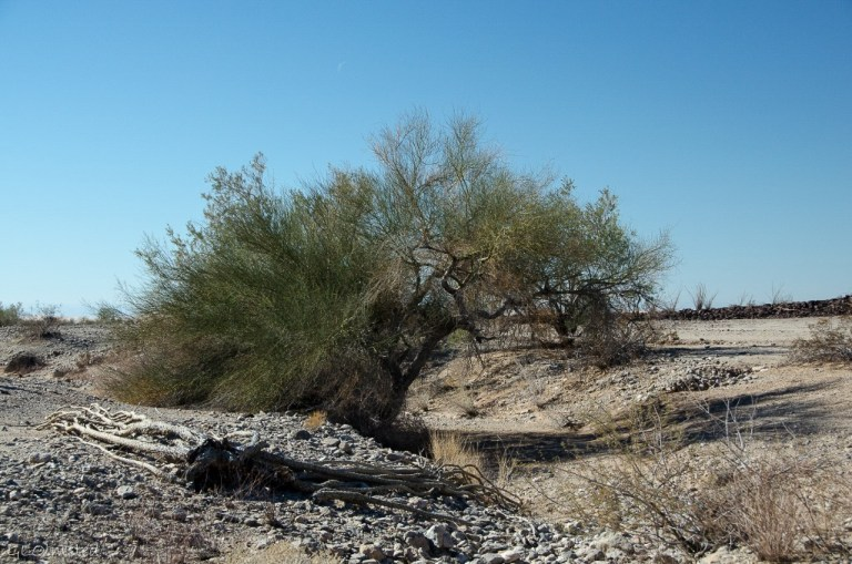 Palo Verde in wash Ogilby Road BLM California