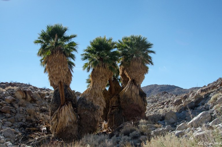 Palm grove Mt Palm Springs Anza-Borrego Desert State Park California