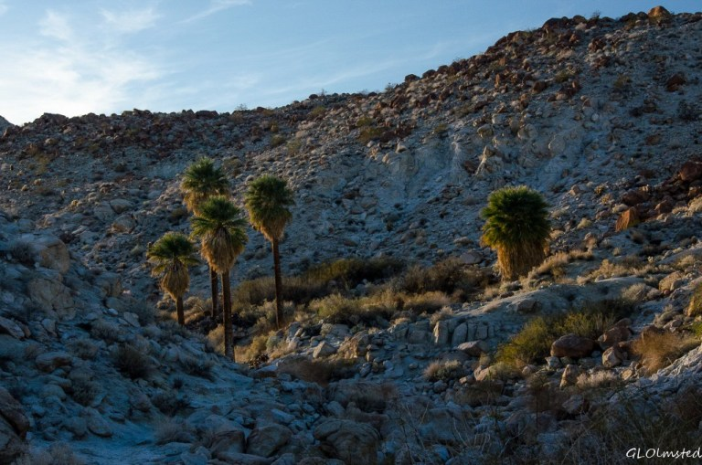 Last light on palm grove Mt Palm Springs Anza-Borrego Desert State Park California