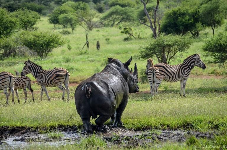 White Rhino & Zebras Kruger National Park South Africa