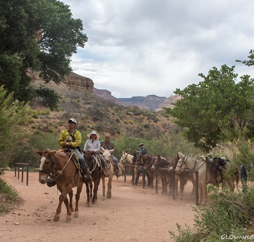 Mule team leaving Indian Gardens Grand Canyon National Park Arizona
