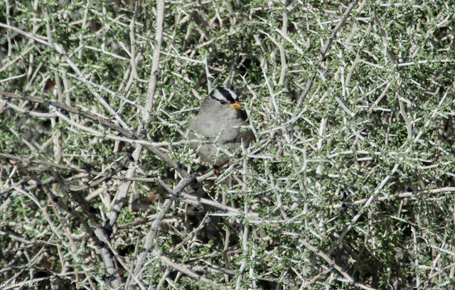White-crowned Sparrow Jumbo Rocks campground Joshua Tree National Park California
