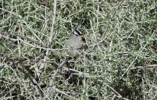 White-crowned Sparrow Jumbo Rocks campground Joshua Tree National Park California