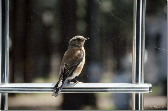 Western bluebird on RV ladder Kit Carson RV Park Flagstaff Arizona