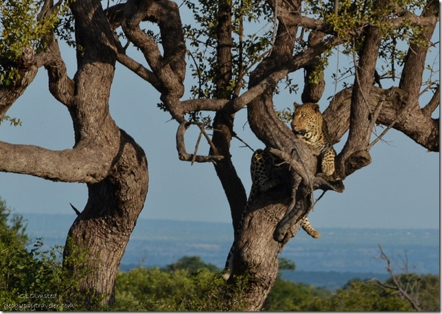Leopard in tree Pilanesberg Game Reserve South Africa