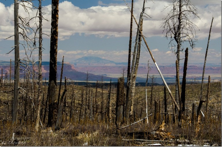 Through the burn Vermilion Cliffs & Navajo Mt Kaibab National Forest Arizona