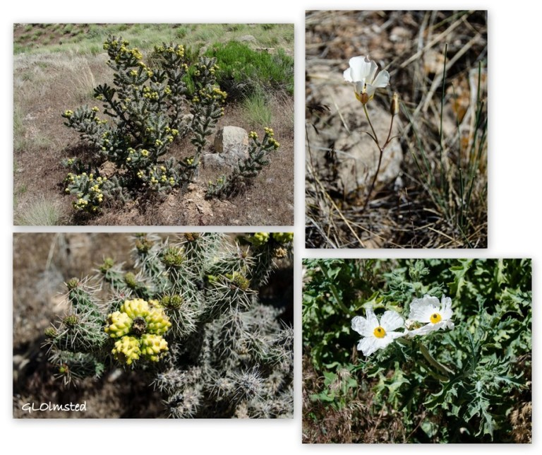 cholla, sego lily & prickly poppy Snake Gulch trail Kaibab National Forest Arizona