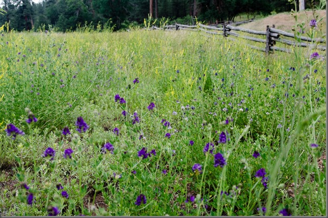 Wildflowers by fence FR425 Kaibab National Forest Arizona