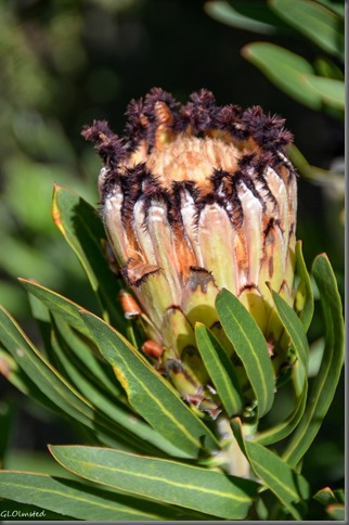 Black-bearded Protea Grootriver Pass Nature's Valley South Africa