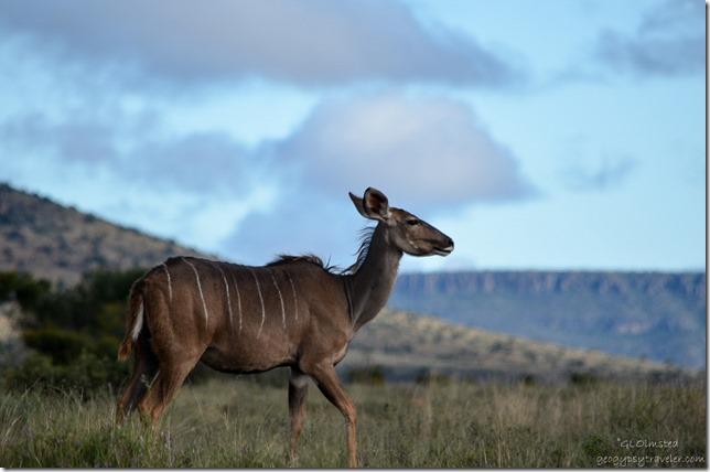 Kudu Mt Zebra NP Eastern Cape South Africa