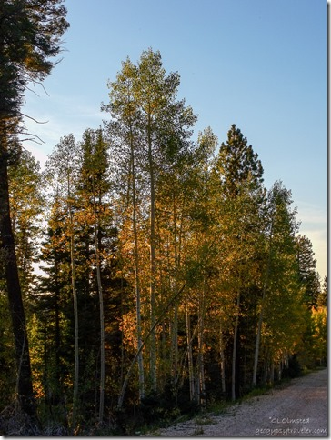 Fall aspen along FR610 Kaibab National Forest Arizona