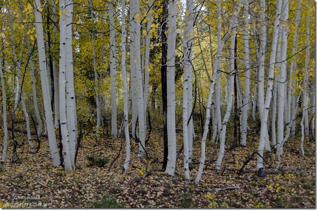Dancing fall aspen FR271 Kaibab National Forest Arizona