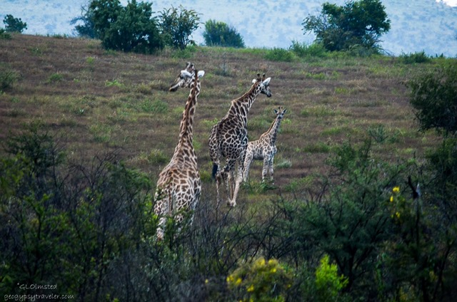 Giraffes Pilanesburg Game Reserve South Africa