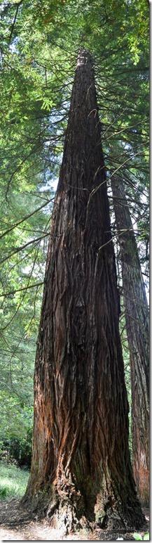 California Redwood Hogsback Arboretum Hogsback South Africa