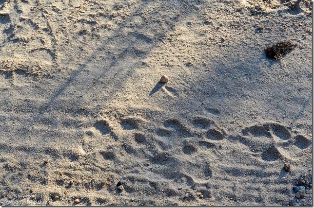 Hyena tracks Kruger National Park South Africa
