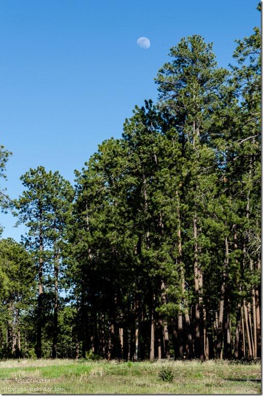 Moon over pines Jacob Lake Arizona