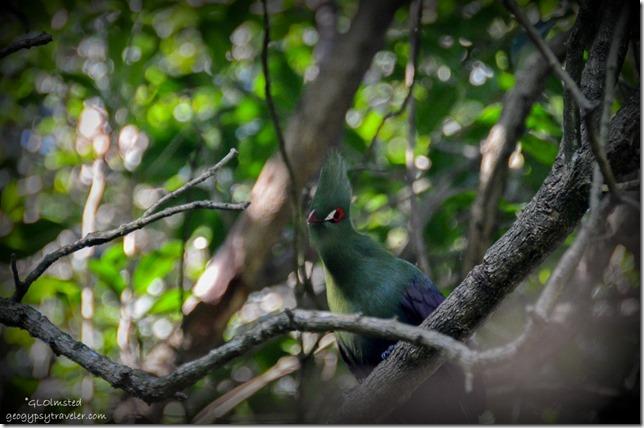 Knysna Lourie at Birds of Eden Plattenberg Bay South Africa