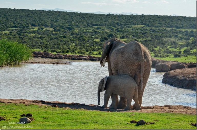 Elephants at the waterhole Addo Elephant National Park South Africa